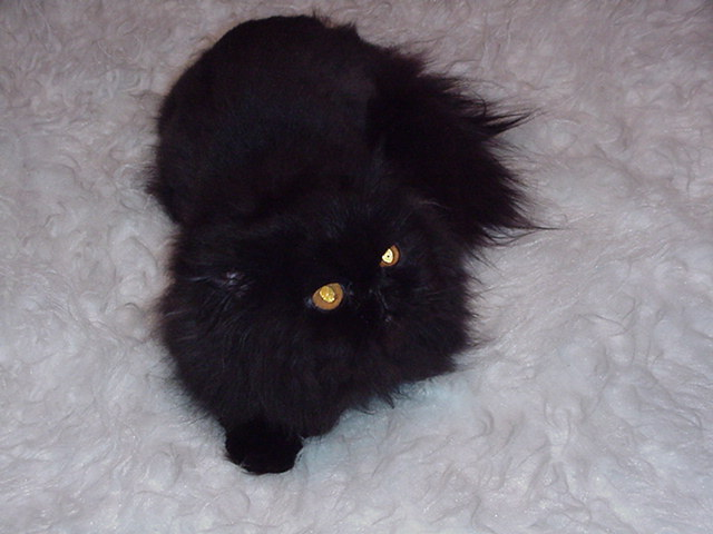 DomPerignon, persian, male stud, black, gold eyes