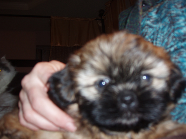 Champion sired shih-tzu puppy Rainbowwow