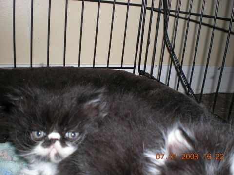 Persian kittens born June 25, 2008
